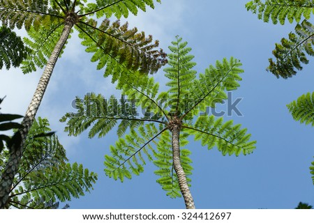 Looking up at canopy of tree fern in tropical jungle, Okinawa, Japan  - stock photo