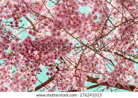 Looking up at cherry tree in full bloom. - stock photo