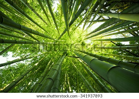 Looking up at exotic lush green bamboo tree canopy - stock photo