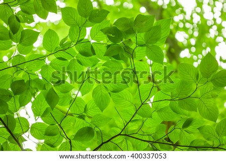 Looking up at the leaves on a beech tree. - stock photo