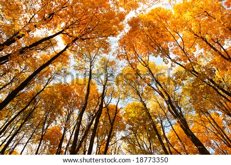 Looking up. Cupola of orange leaves. Sunlight. - stock photo