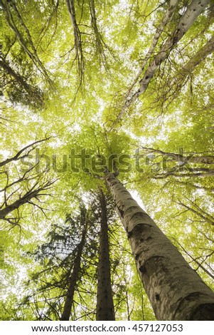 Looking up in a autumn trees in a forest - stock photo
