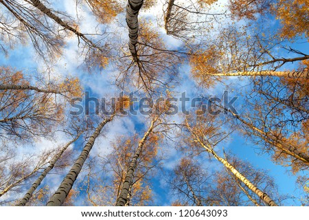 Looking up in a birch trees. Beautiful nature background. Low angle shot. - stock photo
