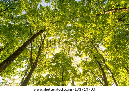 Looking up in a green oak tree forest at evening during spring - stock photo