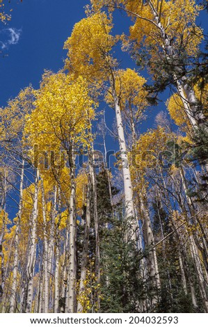 Looking up in an aspen grove in Santa Fe National Forest in autumn. - stock photo