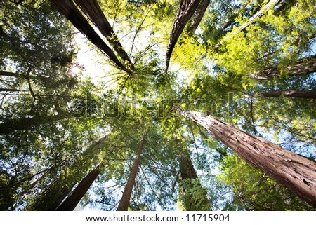 Looking up in Redwood forest - stock photo