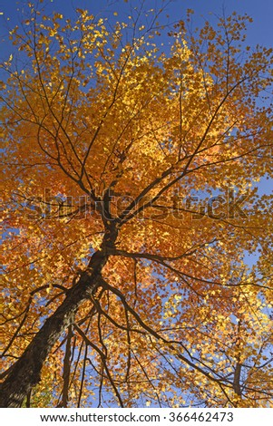 Looking up into a Maple in Full Fall Colors in Shenandoah National Park in Virginia - stock photo