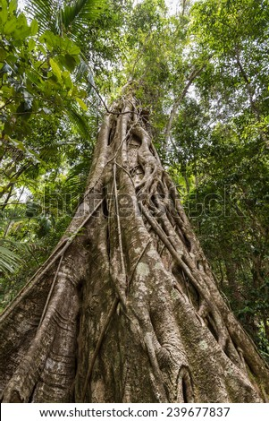 Looking up the trunk of a giant rainforest tree to the canopy, Australia - stock photo