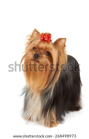 Looking upward purebred Yorkshire Terrier isolated on white background. Its head is bright red with bow on top. Its hair is groomed by professional breeder.                                - stock photo
