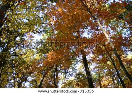 Looking upward through the trees in Autumn - stock photo