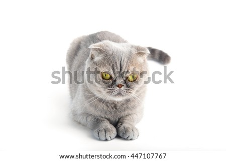 Looking young funny grey cat, isolated on white background - stock photo