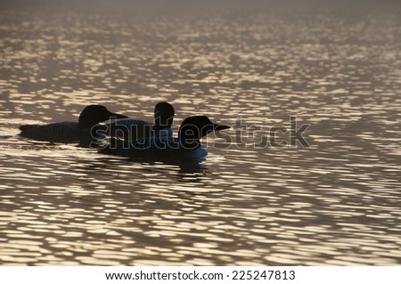 Loons float peacefully on the lake in the early morning - stock photo