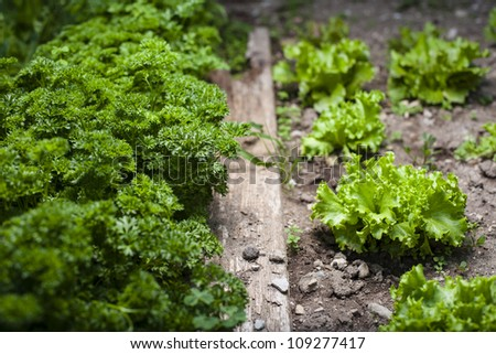 Loose leaf lettuce and curly parsley in a garden - homemade vegetable - stock photo
