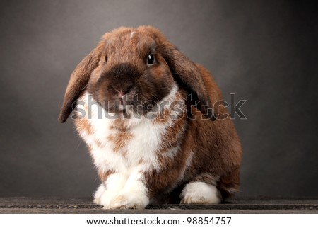 Lop-eared rabbit on grey background - stock photo