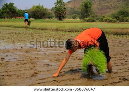 LOPBURI, THAILAND - FEBBRUARY 27, 2014 : Unidentified Thai student transplant rice seedlings at paddy. - stock photo