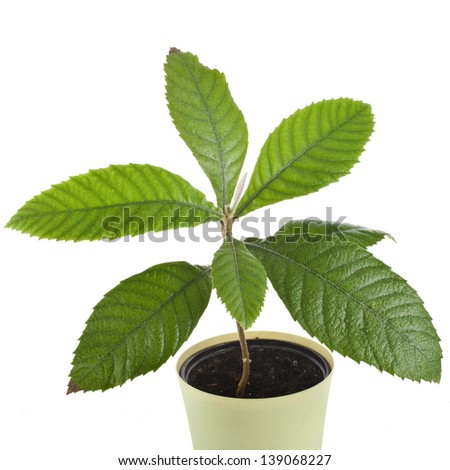 Loquat Medlar Seedling Tree in Pot isolated on a white background - stock photo
