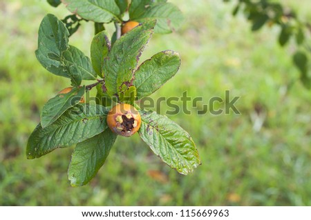 loquat on tree branch and green leaves - stock photo