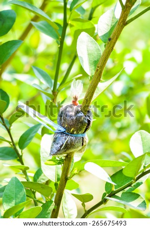 loseup of graft on lime tree branch, agricultural technique - stock photo