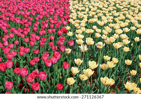 Lot of bright red and yellow tulips on a sunny spring day - stock photo