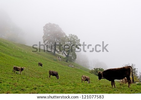 Lot of cows in a white autumn fog - stock photo