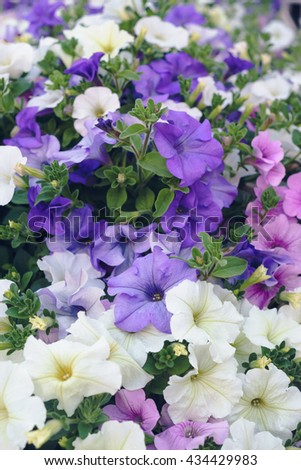 Lot of multicolored blossoming petunia flowers, vertical composition - stock photo