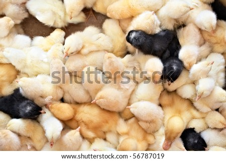 Lots of baby chicken - stock photo