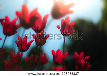 Lots of bright red tulips growing on summer green field. Flowers swaying by wind. Beautiful colours on evening in spring. - stock photo