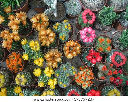 lots of colorful flowering cactuses seen from above - stock photo