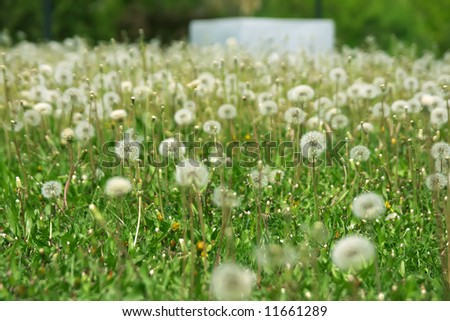 Lots of fluffy dandelions over green grass - stock photo