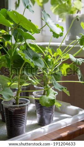 Lots of Geranium plants being grown in plastic - stock photo