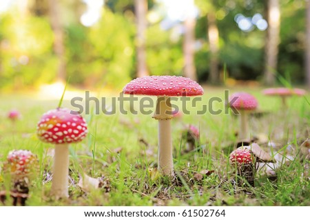 Lots of red mushrooms in autumn forest with shallow dof - stock photo