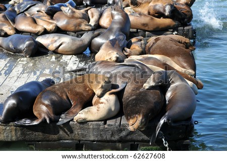 Lots of seals laying and resting - stock photo