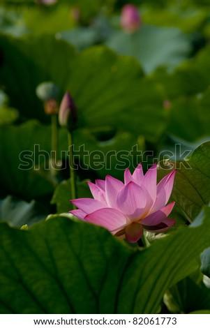 Lotus - stock photo