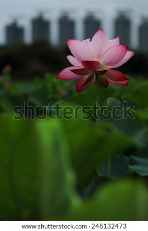 Lotus and buildings background - stock photo