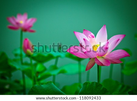 Lotus and lotus ponds. The lotus pond. There are a lot of lotus leaves. In the park. - stock photo