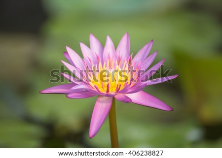Lotus flower and Lotus flower plants,soft focus. - stock photo