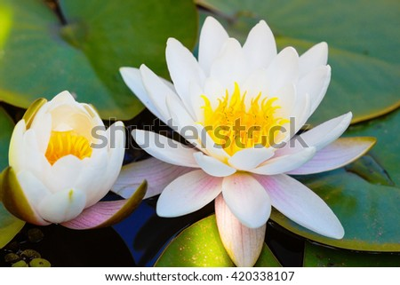 Lotus flower background / Lotus flower floating on the water. - stock photo