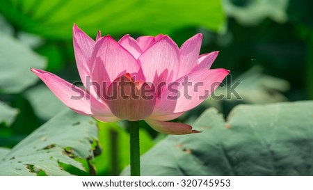 Lotus flower background. Lotus is symbol for Vietnamese - stock photo