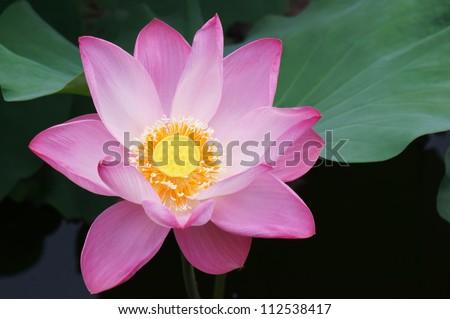 lotus flower blooming in pond. - stock photo