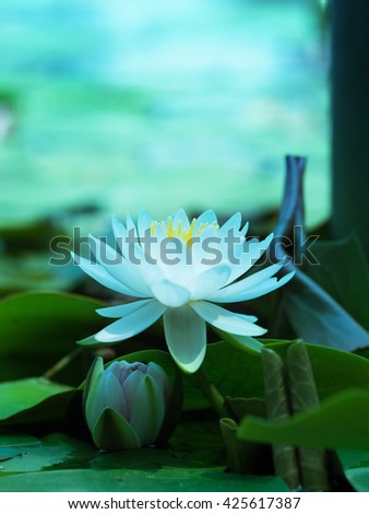 Lotus flower blooming on a tranquil pond in blue morning light. White lotus flower and pink lotus flower bud underneath. Shallow depth of field for dreamy feel. - stock photo