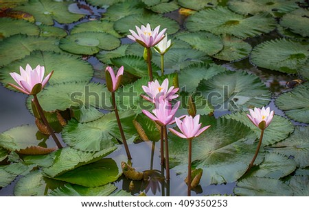 lotus flower in the lake - stock photo