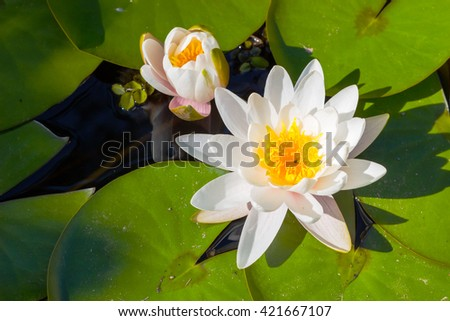 Lotus flower / Lotus flower floating on the water with  sunset light / yellow lotus flower in pond / Beautiful flowers - stock photo