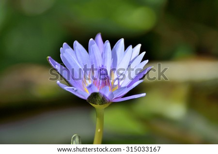 Lotus Flower (Nymphaea caerulea) - Selective focus to blue (Purple) lotus flower or blue Egyptian lotus (blue water lily, blue Egyptian water lily, sacred blue lily, sacred narcotic lily of the nile). - stock photo