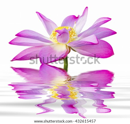 lotus flower on isolated background with water reflection - stock photo