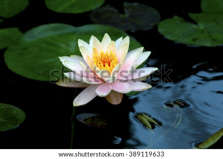 lotus flower or water lily flowers blooming in the pond. - stock photo
