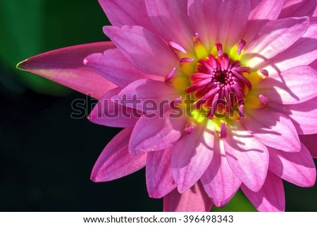 lotus flower or water lily flowers blooming in the pond - stock photo