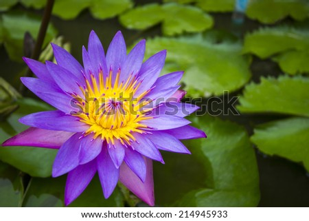 Lotus flower or waterlily represents one symbol of fortune in Buddhism It grows in muddy water - lotus pond. - stock photo