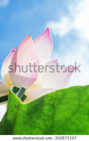 Lotus flower petals and leaf macro under sky - stock photo