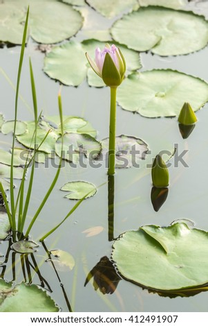 Lotus flower, three flowers are held above the surface, ready to bloom in the coming days. A lotus leaf around. - stock photo