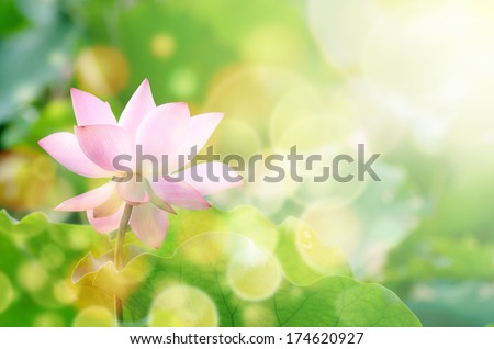 Lotus flower with beautiful sunlight and flare and bokeh. - stock photo